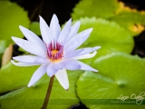 lotus-flower-and-lilly-pads_w | Naples Photographer Lacie Oakey